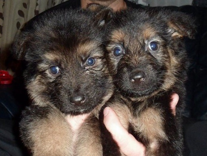 Stunning German Shepherd Puppies