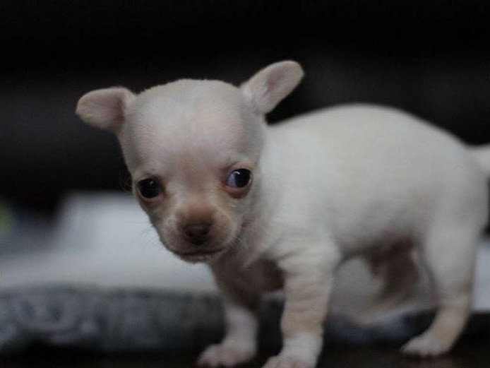 1 male chihauhaua pups for sale white