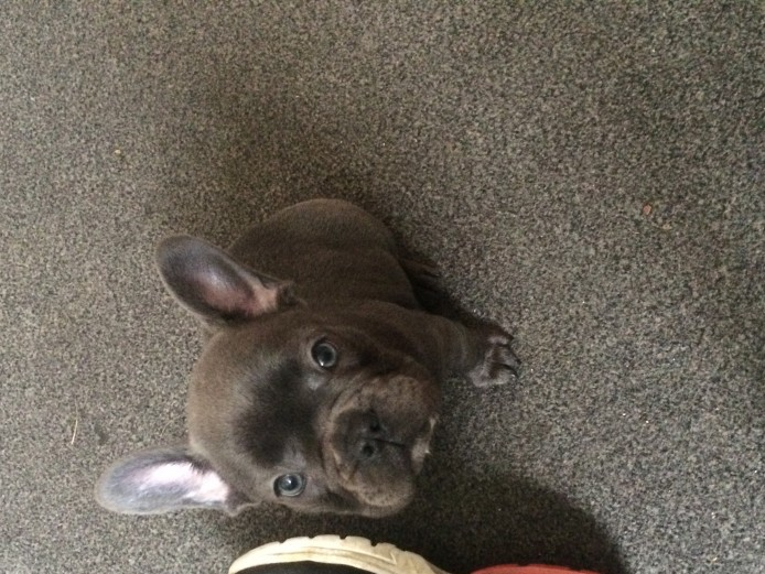 Solid light blue French bulldog puppies