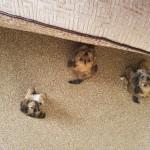 Shorki puppies