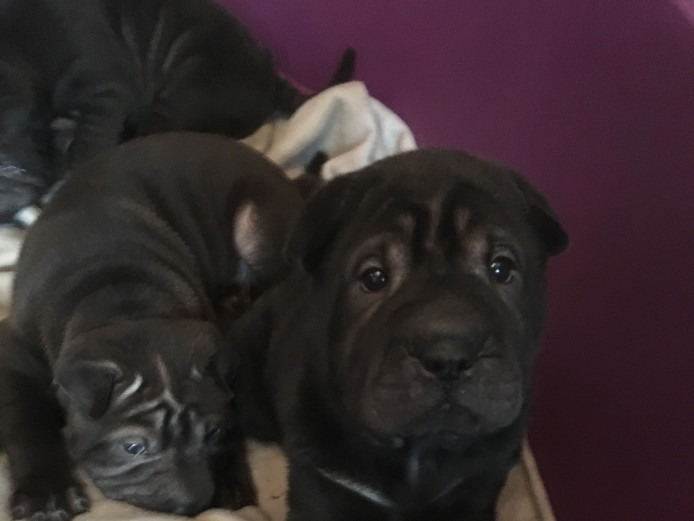 KC Registered Shar Pei Puppies.