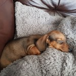 Stunning shaded red miniature dachshund male ready to go