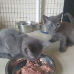 Beautiful Russian Blue Kittens Ready For Sale!