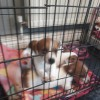 Pets  - Jack Russell puppies