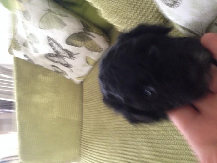 Cavapoochon puppy last one