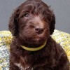 Pets  - Standard Labradoodle F4 multi pups ready to view