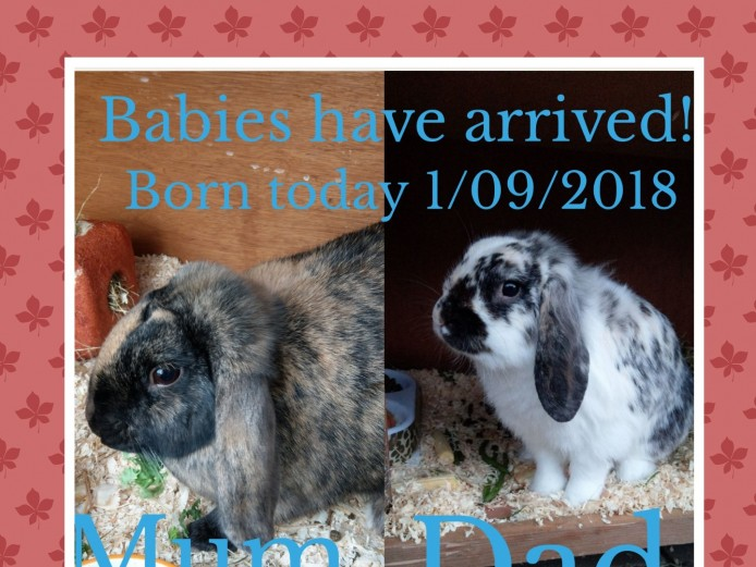 Gorgeous baby mini lion lop rabbits