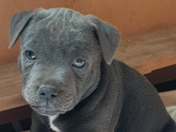 Blue Staffys Fully Vet Checked Kc Reg Staffordshire Bull Terriers Puppies