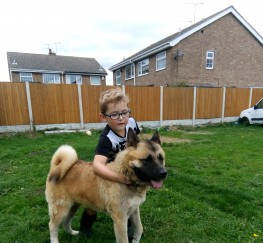 Pets  - Japanese akita for sale