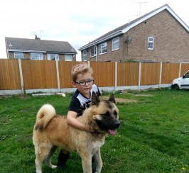 Japanese akita for sale