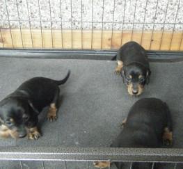 Pets  - dachshund pups