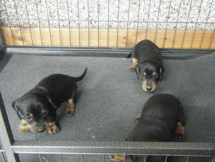 dachshund pups