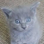 Beautiful, Playful, Grey British Shorthair Kitten