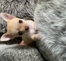 Pets  - Pedigree Chihuahua Puppies, Ready For New Home