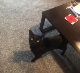 Free to good home black cat
