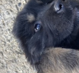 Pets  - Tibetan Mastiff Puppies for sale