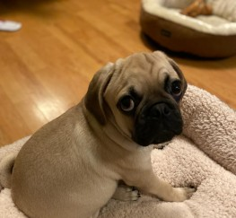 Pets  - Beautiful Pug for sale