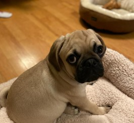 Beautiful Pug for sale
