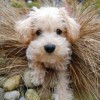 Pets for Sale - Apricot schnoodle puppies