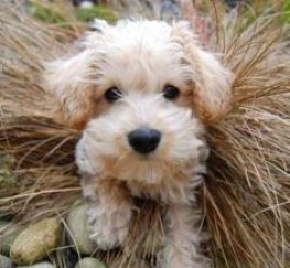 Pets  - Apricot schnoodle puppies
