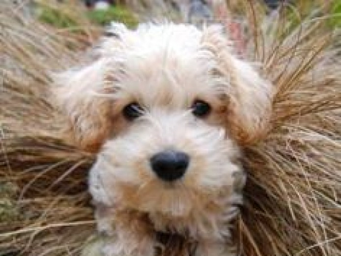Apricot schnoodle puppies