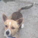 Lovely male chihuahua cross