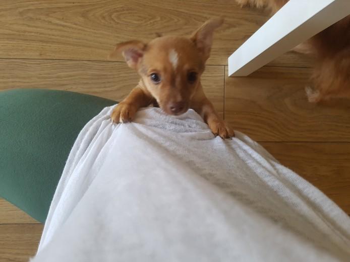 Chihuahua cross puppys