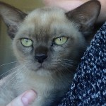Beautiful Pedigrees Choc Burmese male