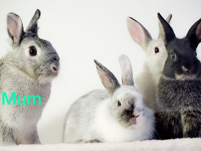 Baby rabbits 8 weeks old ready now Netherland Dwarf x Mini Lop