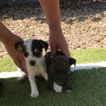 2 beautiful jack russell puppies