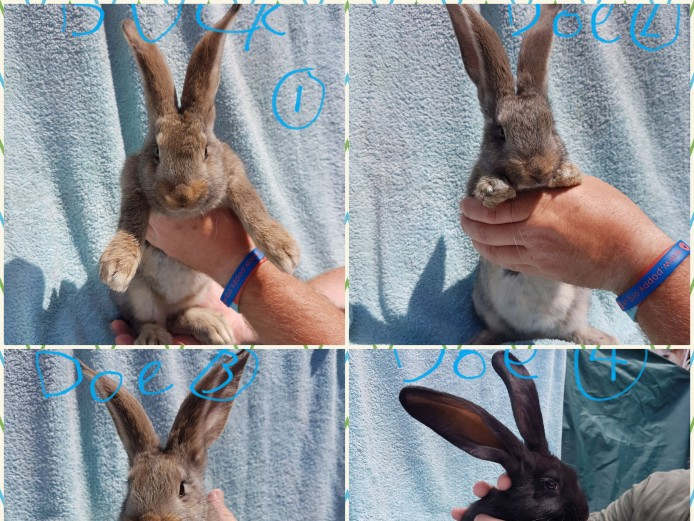 Pure breed continental giant rabbits for sale