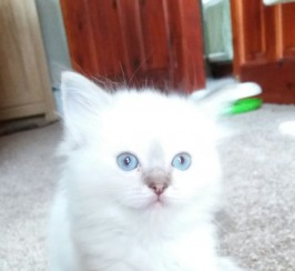 GCCF Registered pedigree ragdoll kittens