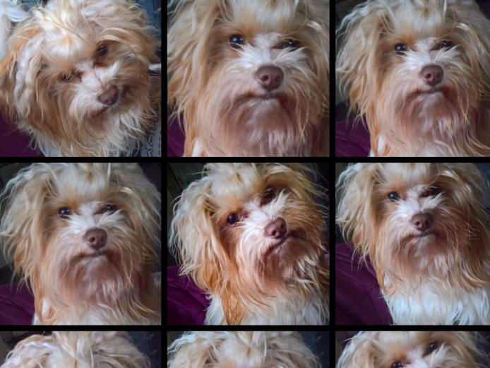 Goldsust Biewer Yorkshire Terrier