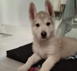 Pets  - GSD X Husky