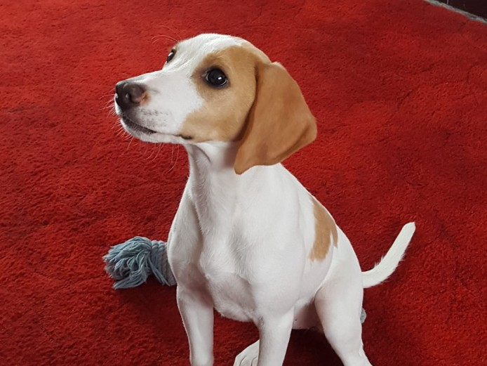 5 month old female lemon beagle