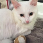 Adorable playful pure white female cat search for a new loving home