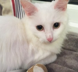 Pets for Adoption - Adorable playful pure white female cat search for a new loving home