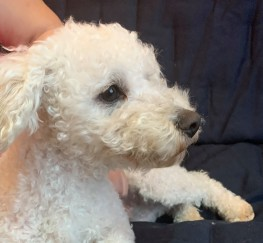 Pets  - beautiful bichon frise boy