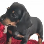 Dachshund miniature kc registred female