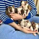 Boston Terrier Kc Reg Hc-sf4 Clear