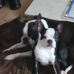 Kc Reg Boston Terrier Girl Pup