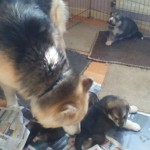 Adorable Malamute Puppies For Sale