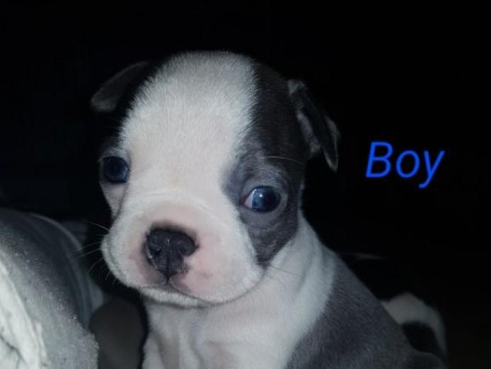 Beautiful Boston Terrier Puppies!