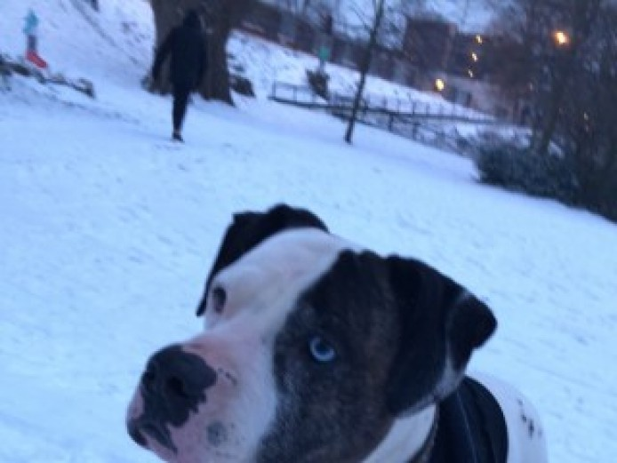 Beautiful American Bulldog Boy