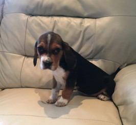 Beagle Girl Puppie