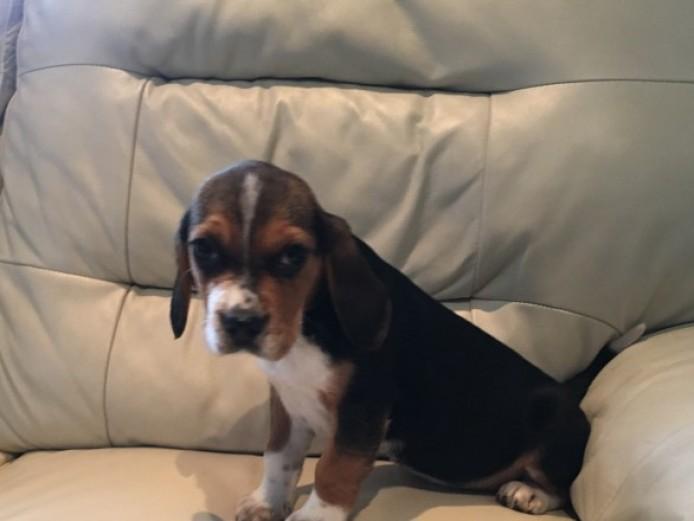 Beagle Girl Puppie