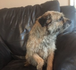 Pets  - Female Kc Reg Border Terrier