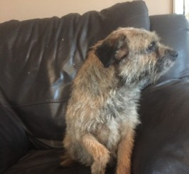 Female Kc Reg Border Terrier