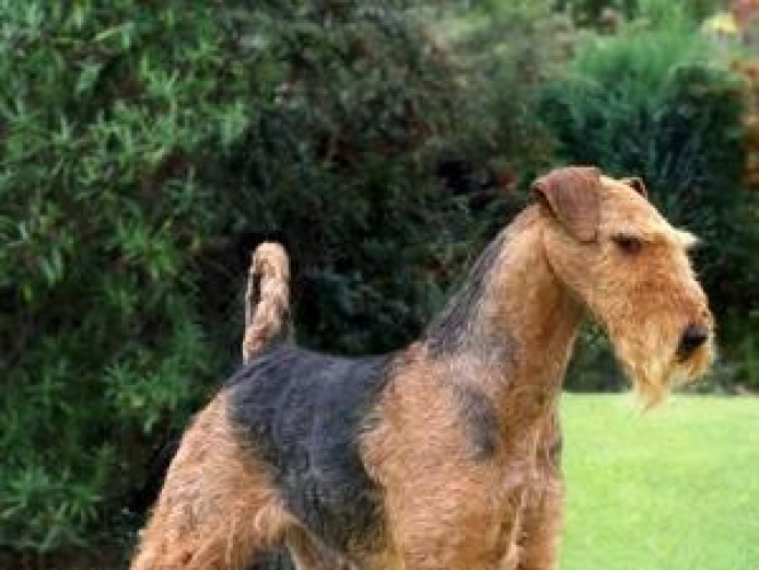 Amazing Show Quality Airdale Terrier Puppies