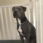 Cane Corso X Xl Bully Blue Male For Sale